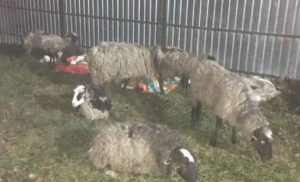 Скандальна фура з вівцями таки прибула в Тульчин, частину з них вбили (КАДРИ)